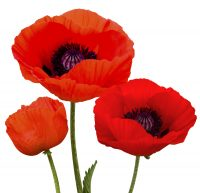 Stock image of Poppies, a symbol of remembrance