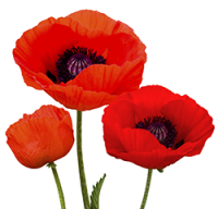 Stock image of Poppy flowers symbolic of Remembrance